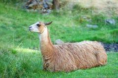 En lama vilar på ett grönt fält Fotografering för Bildbyråer