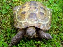En landsköldpadda är i ett gräs Fotografering för Bildbyråer