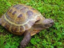 En landsköldpadda är i ett gräs Royaltyfri Foto