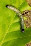En larv på ett grönt bladslut upp Arkivbild