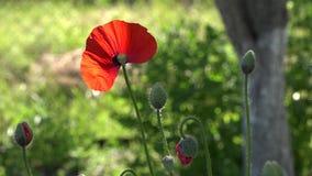 En las amapolas del flor del jardín Una flor delicada almacen de metraje de vídeo