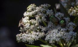 En las flores blancas una abeja y dos escarabajos verdes Imagen de archivo libre de regalías