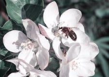 En las flores de Apple la abeja recoge el néctar Fotos de archivo