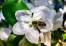 En las flores de Apple la abeja recoge el néctar Foto de archivo