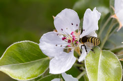 En las flores de la pera la abeja recoge el néctar Imágenes de archivo libres de regalías