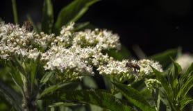 En las inflorescencias blancas de flores salvajes dos abejas Foto de archivo libre de regalías
