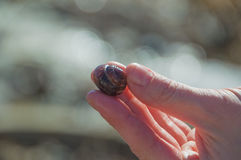 En las manos de una cáscara del caracol Foto de archivo