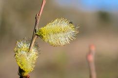 En las ramas del sauce la planta floreció infloresce amarillo Foto de archivo
