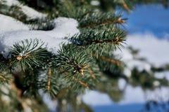 En las ramas verdes de la picea o del pino es la nieve blanca hermosa Fotografía de archivo libre de regalías