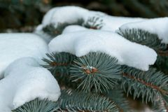 En las ramas verdes de la picea o del pino es la nieve blanca hermosa Imagen de archivo libre de regalías