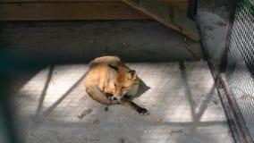 En las sombras de la jaula el Fox que oculta del calor y de la luz del sol almacen de video