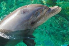 En le delfin dyker upp från vattnet Tittare reflekterar på dess skinande yttersida royaltyfri foto