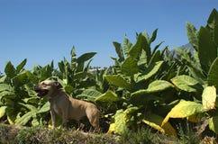 En le pitbull p? tobakf?ltet fotografering för bildbyråer