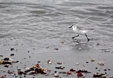 En leda i rör brockfågelspring längs kusten Arkivfoton