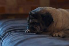 En ledsen mops ser en soffa arkivbilder