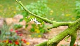 En ledsen tomat/tobak Hornworm som värden till parasitiska braconidgetingägg Arkivfoton