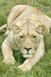 En leeuwin die in het verschiet liggen staren Stock Fotografie