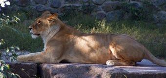 En leeuwin die liggen rusten Roofdier Stock Afbeelding