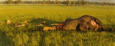 en lejonfamilj som slukar en elefant royaltyfria foton