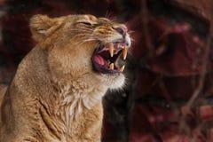 En lejoninna brummar och att gör bar hennes tänder - framsidan av ett lejoninnaslut upp på ett mörkt - röd bakgrund, en rov- lejo royaltyfri foto