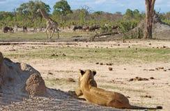 En lejoninna håller ögonen på en giraff och en gnu i den Hwange nationalparken royaltyfria bilder