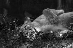 En lejoninna poserar som modell royaltyfri fotografi
