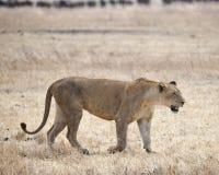 En lejoninna som går i gräset i den Ngorongoro krater Arkivfoton