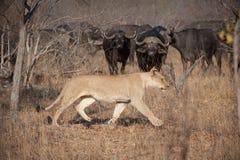 En lejoninna som går till och med torrt gräs medan en flock av buffelklockor varsamt arkivbilder