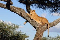 En lejoninna som vilar över akaciaträd royaltyfri foto