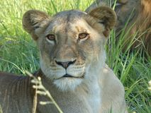 En lejoninna som vilar i den Kruger nationalparken Arkivbild