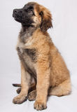 En Leonberger valp Arkivbild