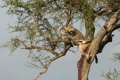 En leopard och hennes byte royaltyfri foto