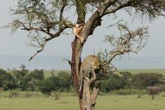 En leopard och hennes byte arkivbilder