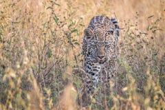 En leopard som går i gräset Royaltyfri Fotografi