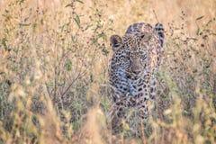 En leopard som går i gräset Royaltyfria Foton