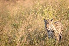 En leopard som går i gräset Arkivfoton