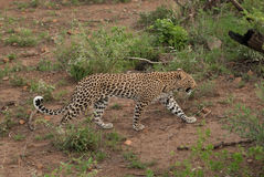 En leopard som går till och med buskar i Pilanesberg Arkivfoton
