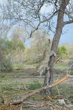 En leopard som hoppar ner från ett högväxt träd Arkivfoto