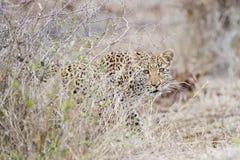 En leopard som tillsammans med kryper busken royaltyfria foton