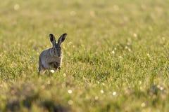 En Lepuseuropaeus för europeisk hare som kör i en äng som är bakbelyst vid aftonsolen fotografering för bildbyråer