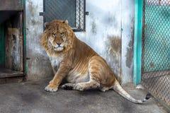 En Liger i den Siberian Tiger Park, Harbin, Kina Royaltyfria Bilder