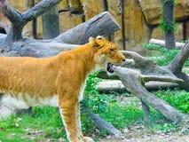 En liger inom Shanghai löst djurt parkerar Arkivbild