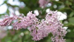 En lila buske i sommaren, blåsig dag arkivfilmer