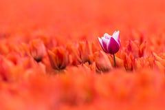 En lila med den vita tulpan står i ett fält av den orange tulpan Royaltyfria Foton