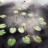 En lilja i ett damm Fotografering för Bildbyråer