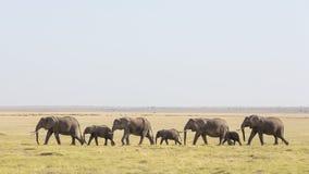En linje av afrikanska elefanter som går till och med Amboseli i Kenya arkivbild
