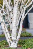 En linje av björkträd på ett tak i en stad Royaltyfria Foton