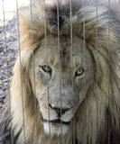 En Lion Peers Out från hans zoobilaga Royaltyfria Bilder