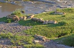 En Lion Pride Sleeping Near The Masai Mara, Kenya, East Africa arkivfoto