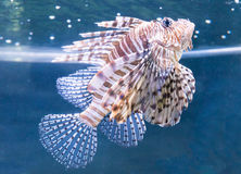 En Lionfish Royaltyfria Bilder